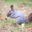 Squirrel in autumn park — Photo