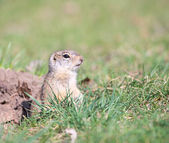 Watchful gopher — Stock Photo