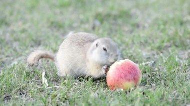 Gopher eating apple — Stock Video