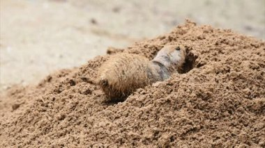 American prairie dog digging a burrow — Stock Video