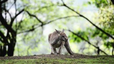 Kangaroo in Prague Zoo — Stock Video
