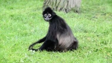 Geoffroy's spider monkey cleaning fur — Stock Video