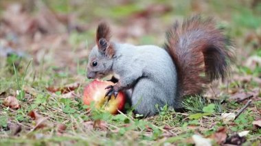 Squirrel eating an apple — Stock Video