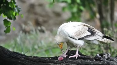 Egyptian vulture or white scavenger vulture — Stock Video