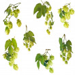Set of hops — Stock Photo #12622940
