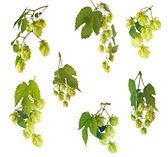 Set of hops — Stock Photo