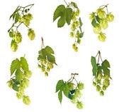 Set of hops — Stock Photo