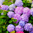 Stock Photo: Multi Colored HydrangeBush With Blooms
