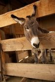 Lonely Donkey Looking Out of His Pen — Stock Photo