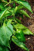 Biber bir bahçede büyüyen — Stok fotoğraf