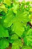 Large Grape Leaf on Vine — Stock Photo