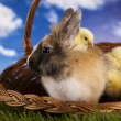 Happy Easter, Chick in bunny — Stock Photo