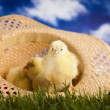 Chick, Happy easter — Stock Photo