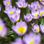 紫色郁金香 — 图库照片
