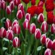 Many fresh beautiful blooming tulips in springtime in park over green grass on the field — Stock Photo