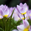 Stock Photo: Purple tulips