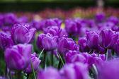 Jardim de tulipas violetas — Fotografia Stock