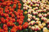 Beautiful tulip Flowers — Stock Photo