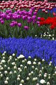 Closeup, blume, tulpe, die bunten — Stockfoto