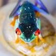 Red eyed tree frog — Stock Photo #30682025
