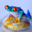 Red eyed tree frog — Stock Photo #30682039