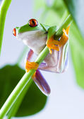 Red-eyed frog — Stock Photo