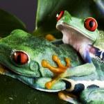 Tree frog — Stock Photo #30691455