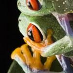 Tree frog — Stock Photo #30691547