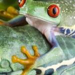 Tree frog — Stock Photo #30691721