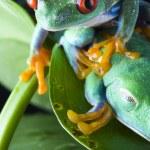 Tree frog — Stock Photo #30691805