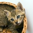 Cat in the basket — Stock Photo