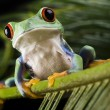 Frog on leaf — Stock Photo