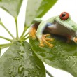 Green frog — Stock Photo #30696629