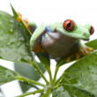 Stock Photo: Green frog