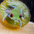 Frog with kiwi — Stock Photo