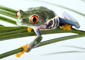 Frog on branch — Stock Photo