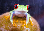 Frog on kiwi — Stock Photo
