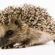 Hedgehog — Stock Photo #30700137
