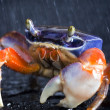 Stock Photo: Crab focus on front claw