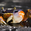 Crab focus on front claw — Stock Photo #30700397