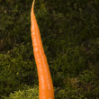 carrot — Stock Photo #30702877