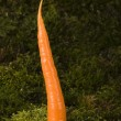Stock Photo: carrot
