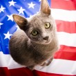 British Shorthair on U.S.A flag — Stock Photo