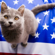 British Shorthair on U.S.A flag — Stock Photo #30734399