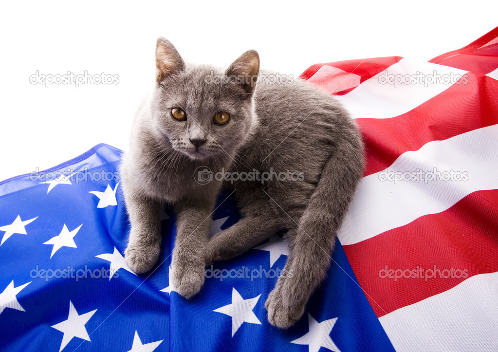 在美国国旗上的英国短毛猫