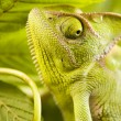 Stock Photo: Chameleon on leaf