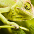 Chameleon on the leaf — Stock Photo