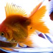 Gold fishes — Stock Photo #30748993
