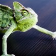 Chameleon — Stock Photo #30749117