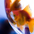 Gold fishes — Stock Photo